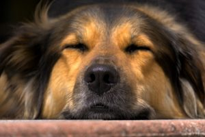 Sleeping Dog Animal Healer Training