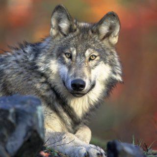 Wolf 62898 1920
